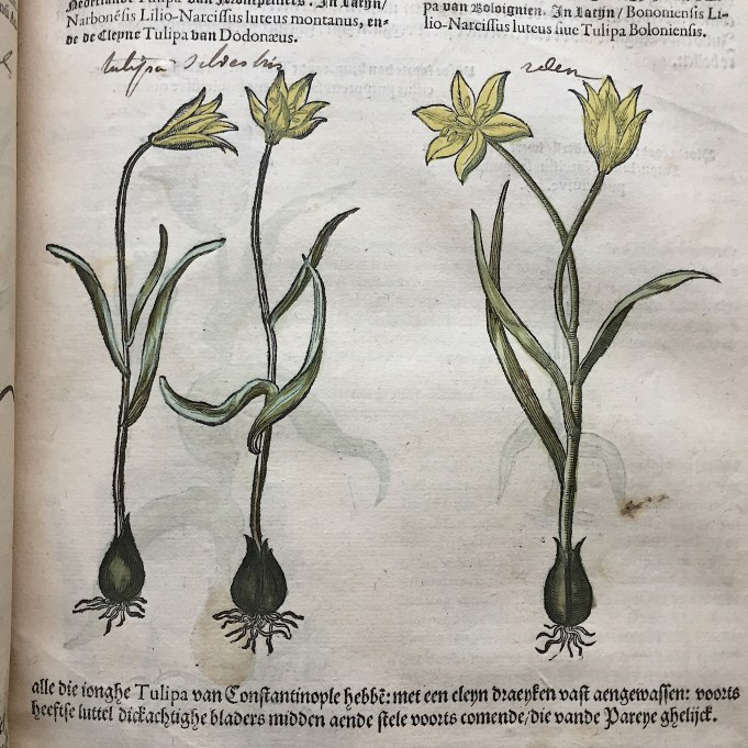 Tulipa silvestris in: Matthias de Lobel, Kruydtboeck, 1581.
