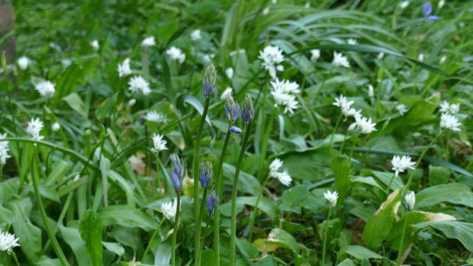 Wilde hyacint met Daslook bij de Schierstins.