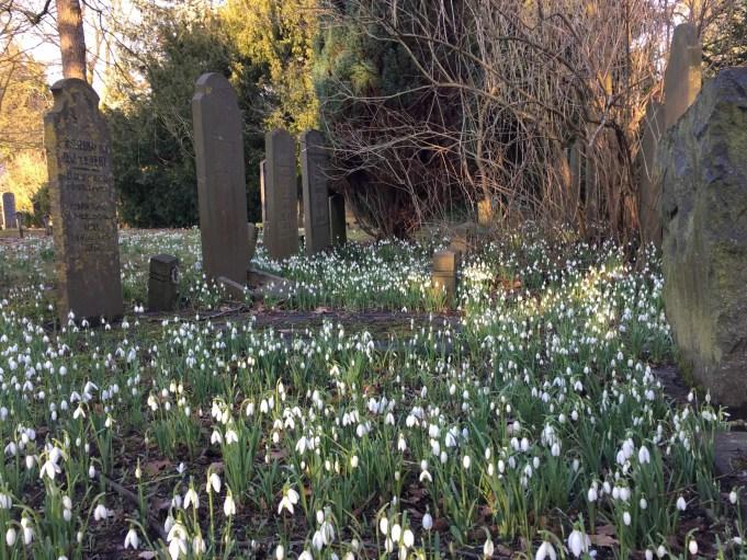 Sneeuwklokjes op de Algemene begraafplaats in Zwolle (Meppelerstraatweg). Deze begraafplaats werd in 1825 aangelegd.