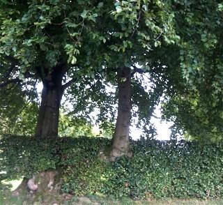 Oude Beuken(vlecht)heg in de buurt van Waimes (België), Rue Coirville, met uitgegroeide Beuken.