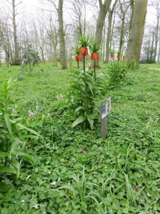 Keizerskroon volop in bloei op Jongemastate.