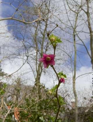 Prachtframboos, bloem