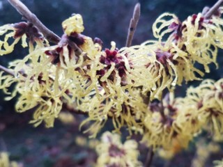 Early Witch Hazel in the Martenatuin in Franeker.