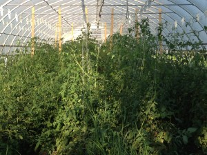 Before: Tomatoes in hoophouse 2 grow 8 feet tall by September.