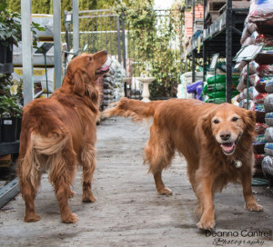 Two Golden Retrievers at the St. Johns Ace Garden Center.