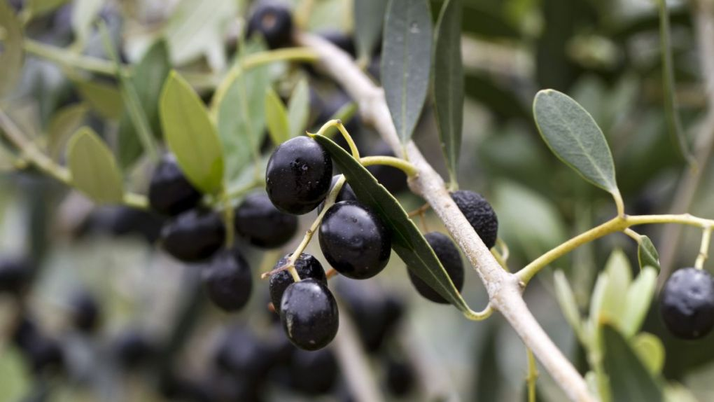 L'Huile d'Olive de Corse