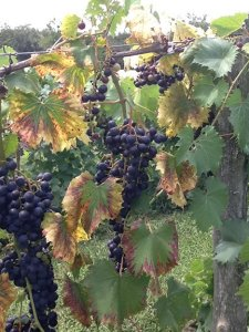 Villa Antonio Grapes_