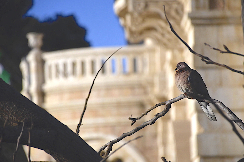 A dove on a branch.