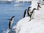 Adélie penguin leaping onto the ice