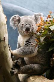 Koala  Wikimini lencyclopdie pour enfants