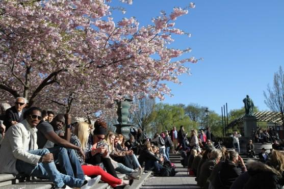 цветущая сакура в центре Стокгольме