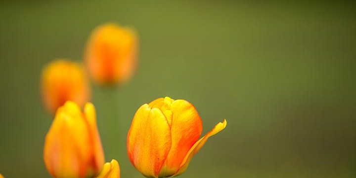 tulip flowers on the field free stock image