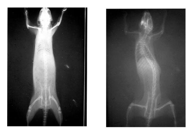 Влияние искусственных нарушений окклюзии у крыс на состояние их позвоночника (резюме исследования)