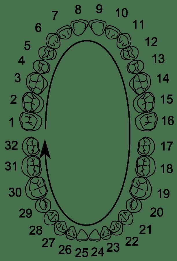 Универсальная система нумерации зубов. Американская система нумерации зубов.