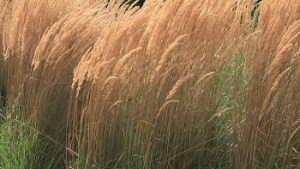 Karl Foerster Feather Reed Grass #1
