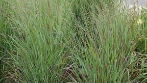 Shenandoah Switch Grass #1