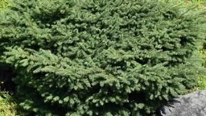 Spruce – Birds Nest #2