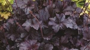 Heuchera – Obsidian – Coral Bells #1