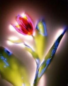 auric tulip