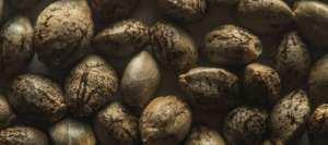cannabis seeds germination guide