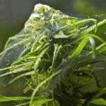 spider mite infestation result cannabis plant
