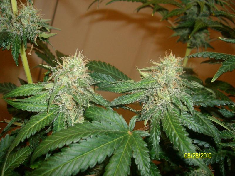 The Flowering Stages Of Cannabis Week By Week
