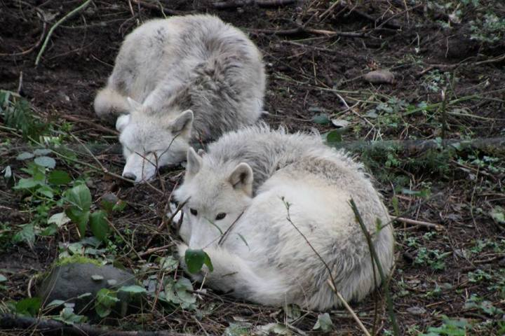 wolves laying down