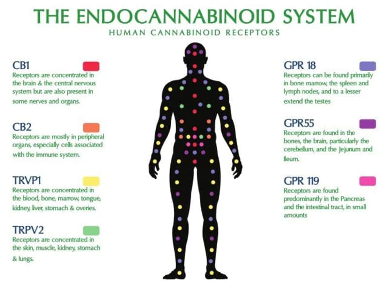 what is the endocannabinoid system