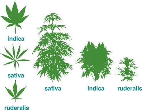 sativa vs indica leaves
