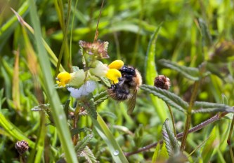 Yellow Rattle and Bee
