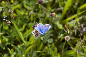 Butterflies in Pembrokeshire. Common Blue female butterfly on white clover in holiday cottage flower meadow