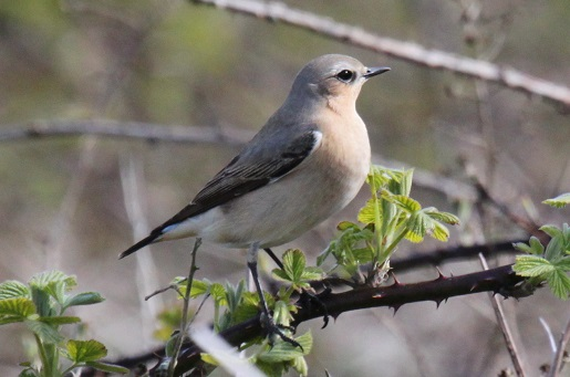 Bird spotting holidays at Stonesa Cottages. Wheatear