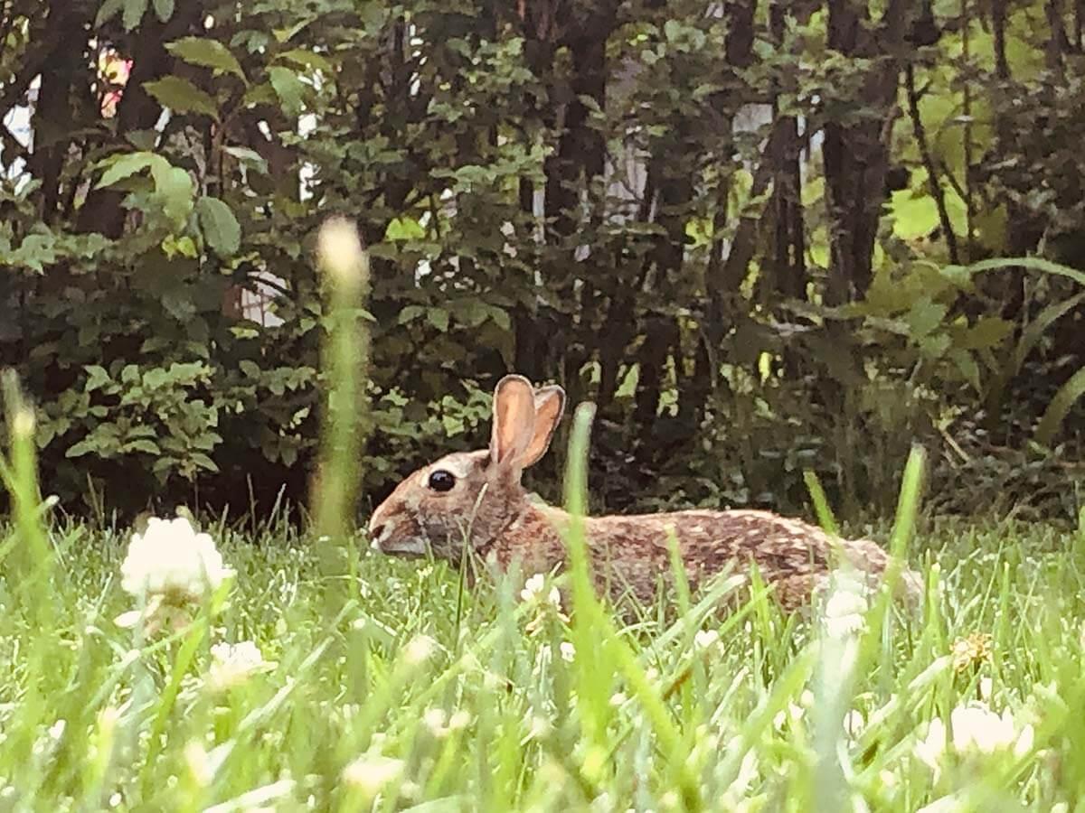 RabbitthroughtheGrass