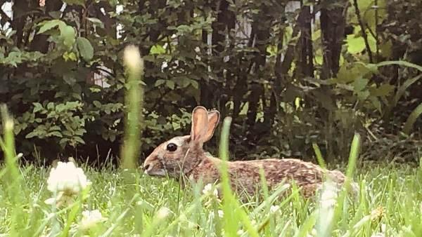 Rabbit through the Grass