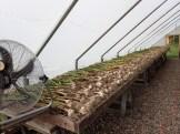 Garlic drying in greenhouse