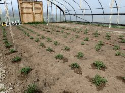 Tomatoes transplanted in hoophouse