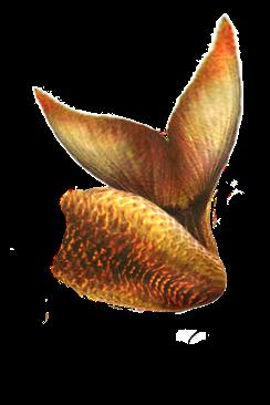golden_mermaid_tail_png_by_zozziegirl-d55ngnp