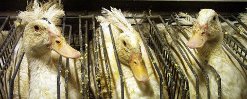 Canards en cage