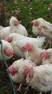 poules-de-thisnes-enfin-heureuses-2
