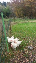 poules-de-thisnes-enfin-heureuses-3