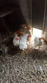 poules-de-thisnes-enfin-heureuses