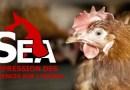 Fin du sauvetage janvier 2017 ! (URGENT. Nous sortons des poules d'un élevage en cage et faisons appel aux adoptants !!!)