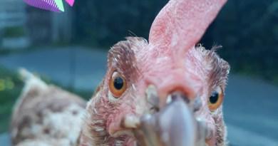 URGENT 23.000 poules à sauver
