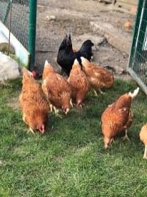 poules en cage adegem