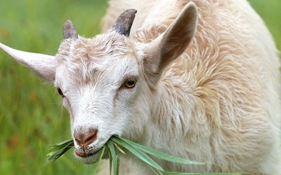 How Goats Became the Mascots for Protective Mothers