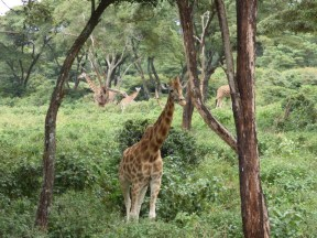 Typical Rothschild's giraffe habitat