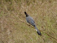 This is a White-bellied Go-Away Bird; we could just see it from a look-out tower about 5 flights up stairs high.