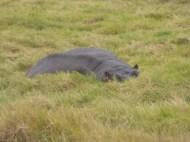 Hippo hiding.