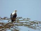 Looks a bit like a Bald Eagle.