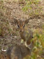 "These shy little antelope are called duikers. They are around 18"" high at the shoulder."